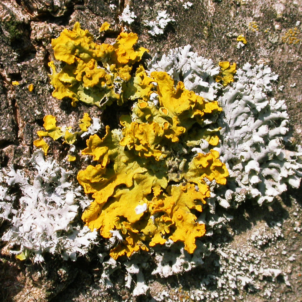 Lichene parmenide pieno di bei colori