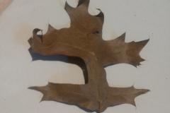 Quercus palustris o Quercus coccinea